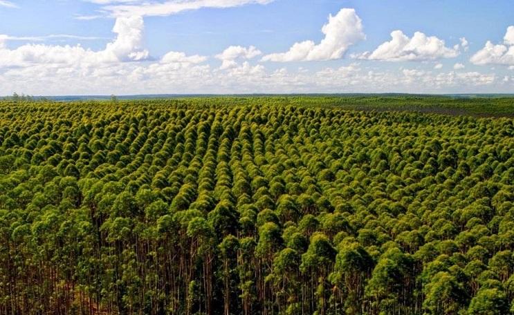 Árvores em área de plantio para madeira reflorestada.