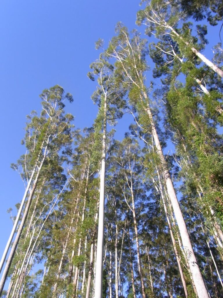 Árvore de eucalyptus grandis, que dá origem a madeira eucalipto.